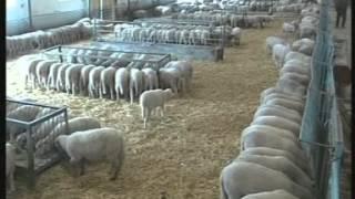 Koyun Besleme