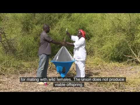 Film sur le projet glossine, diffusé lors de la conférence générale de l'AIEA en 2016