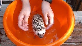 КУПАНИЕ ЕЖА/ Bathing a hedgehog/ ЗАЧЕМ ЕЖУ МАСЛО?