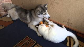 Сибирская Хаски и Кот!!!