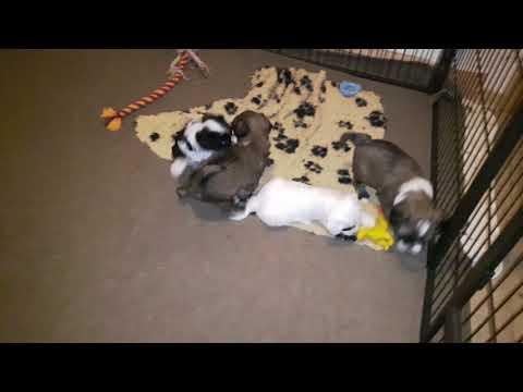 Vajrapasha Tibetan Terrier puppies B litter