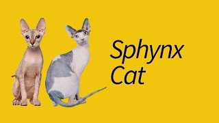 10 Sphynx Cat Facts—EXTRAORDINARY cat!