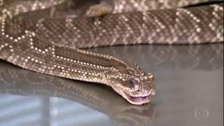 A importância da peçonha das serpentes (SELANTE DE FIBRINA)