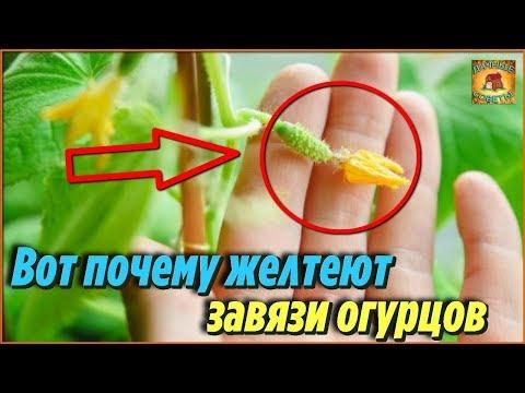 Вот почему желтеют и засыхают завязи огурцов и что делать в таком случае. Дачные советы