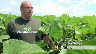 EkoBooster MAX na suncokretu i psenici , Nikinci 2018. Poljoprivreda- ratarstvo