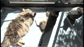 猫たちは気持ちよさそうに日光浴