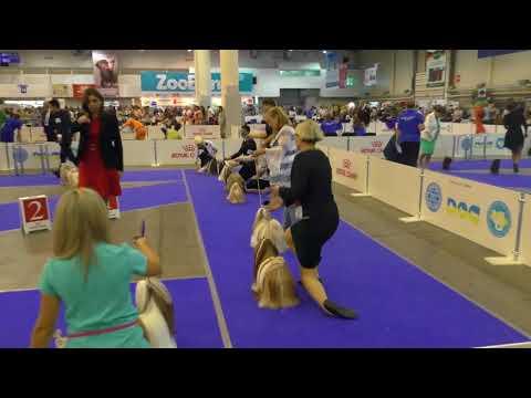 Euro Dog Show 2017 shih-tzu ring