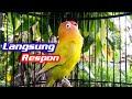 Suara Pancingan Lovebird Untuk Melatih Lb Bahan Agar Cepat Ngekek  Mp3 - Mp4 Download