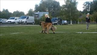 Leonberger Speciality Show In Estonia
