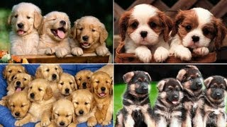 En Şirin Köpek Yavruları