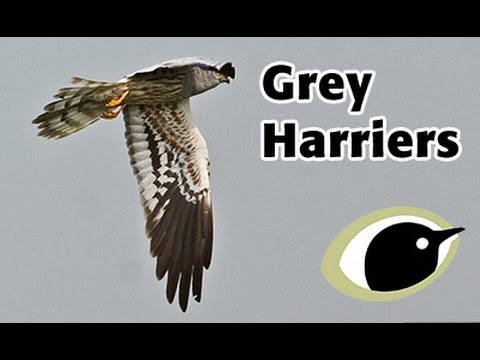 BTO Bird ID - Grey Harriers