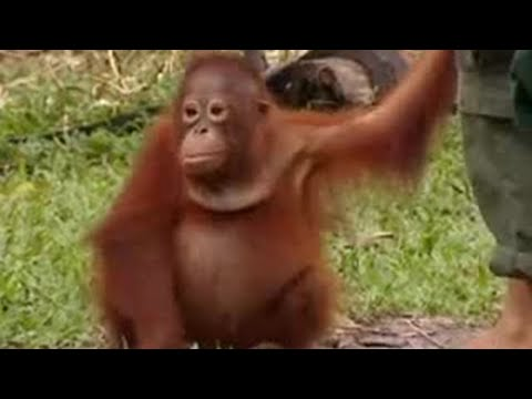 Endangered animals - orangutans face extinction in Borneo due to deforestation - BBC wildlife