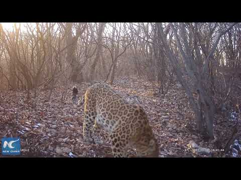 3 wild leopards captured on camera in C China