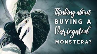 Buying a Variegated Monstera? | Thai Constellation vs Albo Borsigiana