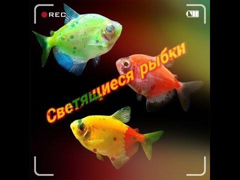 Светящиеся аквариумные рыбки Глофиш (GloFish)Тернеции. Барбусы.Данио.