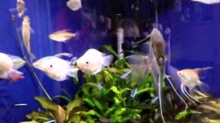 Угловой аквариум(Угловой аквариум Аквариумист - Татьяна., 2013-04-27T13:38:04.000Z)