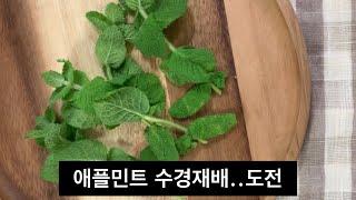홈가드닝 애플민트 수경재배 방법 | 물꽂이로 식물키우기…