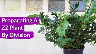 How To Propagate A ZZ Plant By Division / Joy Us Garden