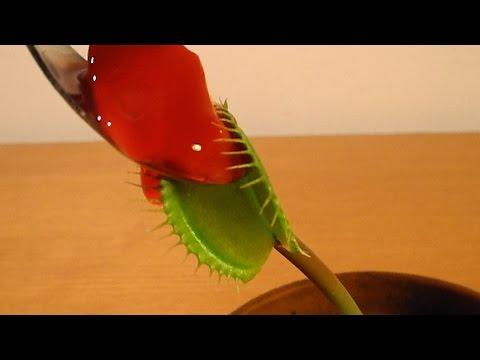 charlie-the-flytrap-eats-dessert!