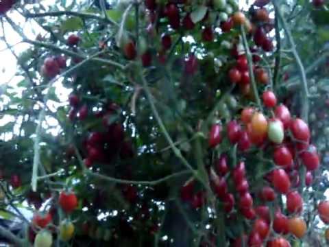 Помидоры сорта Спрут, уход и выращивание   выращивания   помидоров   помидоры   теплица   помидор   урожай   ухода   спрут   сорте   куста