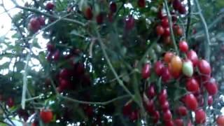 Помидоры сорта Спрут, уход и выращивание(В видео я рассказываю о сорте помидор Спрут. Достоинства и недостатки сорта Спрут, мой опыт выращивания..., 2015-03-11T07:52:03.000Z)