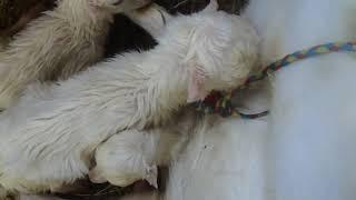 Окот мимоходом... Lambing goats in passing