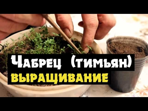 Тимьян или чабрец - как вырастить из семян рассаду и посадить (  thyme чабрец или тимьян)