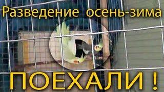 Разведение попугаев осень зима 2017 №1 ПОЕХАЛИ