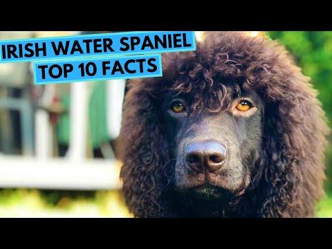Irish Water Spaniel  TOP 10 Interesting Facts