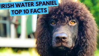 Irish Water Spaniel  TOP 10 Interesting Facts