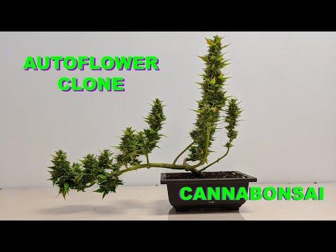 Autoflower Clone Cannabonsai