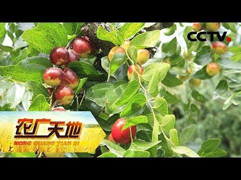 《农广天地》酸枣嫁接大枣技术 20190312 | CCTV农业