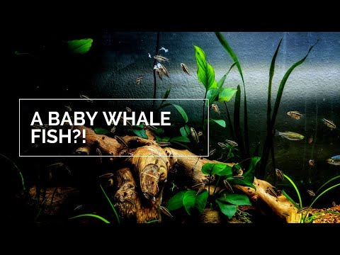 Baby Whale Fish