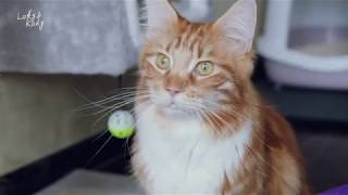 "【Loky&Kody】一起帮""屎""上最乖的缅因猫洗澡。一生都不吭一声,它是哑巴吗?It's shower time for Loky"