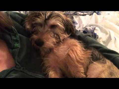 Собака спит и спит храпит или милый щенок таксы спит cute puppy