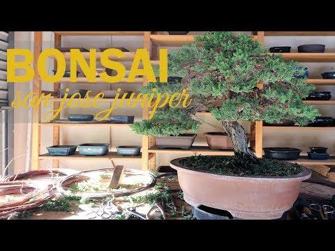 Bonsai Styling: Wiring and Shaping a San Jose Juniper Bonsai