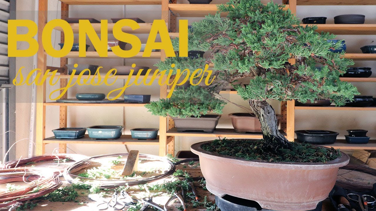 Juniper Bonsai Styling: Wiring and Shaping a San Jose Juniper on
