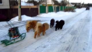 Чау-чау ездовые собаки