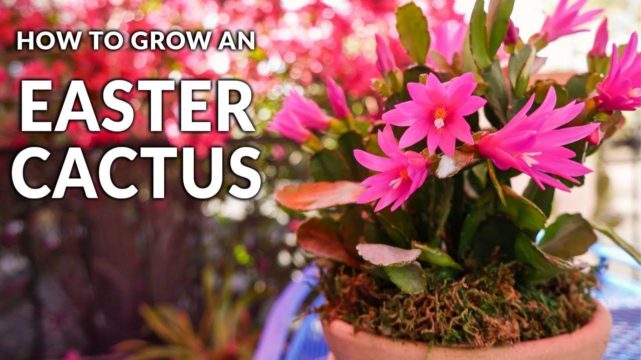 Tips For Growing An Easter Cactus Spring Cactus Joy Us Garden