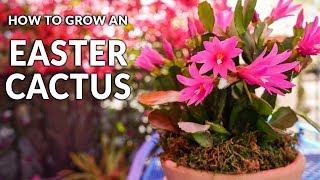 Tips For Growing An Easter Cactus (Spring Cactus) / Joy Us Garden