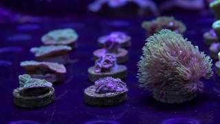Five Pretty, Tough and Easy Keeper Beginner Corals