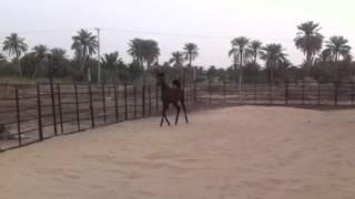 سلطانه ، بنت جلمود الخليج ، المالك ناصر السلطان