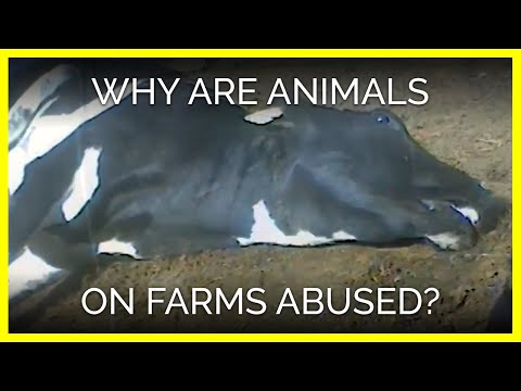 Why Are Animals on Farms Abused?