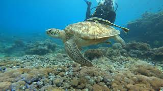 스쿠버 다이빙 필리핀 사방비치 바다거북 0913 scu…