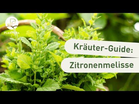 Lieblings Zitronenmelisse trocknen & ernten: Anleitung & Tipps - Plantura #CH_61