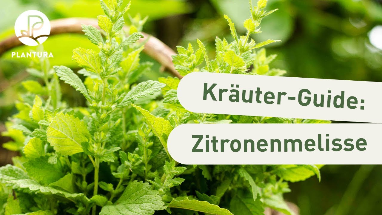 Ganz und zu Extrem Zitronenmelisse trocknen & ernten: Anleitung & Tipps - Plantura &HS_81