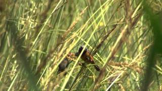 Capuchino garganta café ( Sporophila ruficollis)