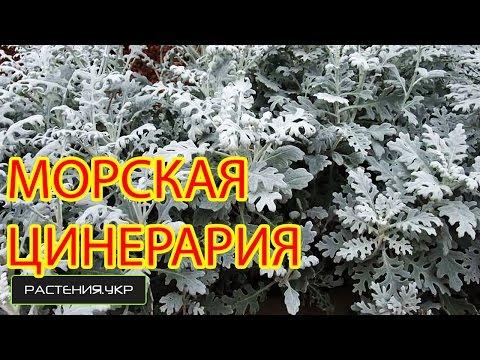 Нивяник - выращивание из семян