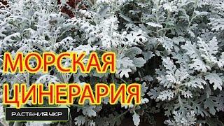 Цинерария приморская выращивание из семян / бордюрные растения / однолетние цветы
