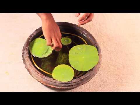 Gold Fish Lotus Pot Setup
